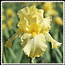 Iris bulbi-La pianta viva della dea arcobaleno in