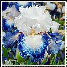 Iris bulbi- la visualizzazione Aria purificante