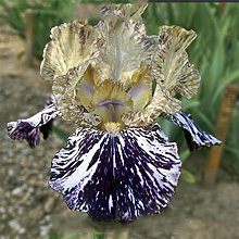 Iris Bulbi ornamentali Stunning Garden Specie Rare