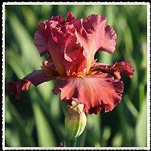Iris Bulbi -Pianta dell'aria purificante Ora