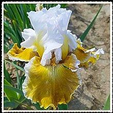 Iris Bulbi -Pianta storica ora Rara Crescita