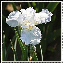 Iris bulbi-Pianta vivente Storica Forte crescita