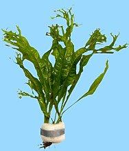 Javafarn, Microsorum pteropus, persico, robusto,