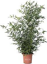 KENTIS - Bambusa Phyllostachys Bissetii - Bamboo