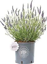 Lavandula angustifolia 'Hidcote' compatta,