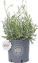 Lavandula angustifolia, Pianta vera in vaso