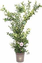Ligustrum texanum, Ligustro, Cespuglio, Pianta