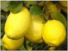 Limone Imperiale Cespuglio