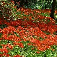 Lycoris Bulbi Exotics Giardino Bella Fiori Bonsai