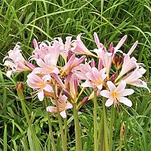 Lycoris radiata bulbi Splendide forti Esotici