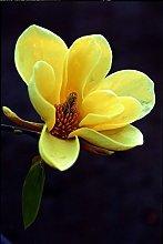 Magnolia Acuminata - Fiore giallo - Rare Semi