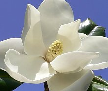 Magnolia grandiflora, esotico albero in fiore