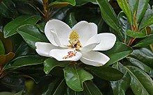 Magnolia grandiflora pianta sempreverde in vaso h.