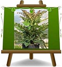 Mahonia Media Charity Piante Ornamentali - su vaso