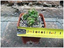 Mammillaria surculosa 4 cm, cactus, pianta grassa