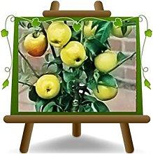 Melo Nano - Pianta da frutto su vaso da 20 - max