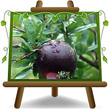 Melograno Frutto Nero - Pianta da frutto su vaso