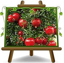 Melograno Wonderful - Pianta da frutto su vaso da