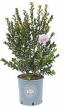 Myrtus communis, Mirto comune, Pianta vera in