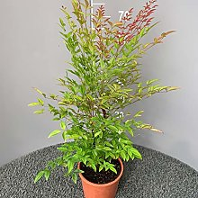NANDINA DOMESTICA │ Pianta sempreverde in vaso