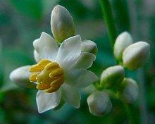 Nandina domestica - Heavenly Bamboo - 10 semi,