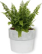 Nefrolepis Vitale - Pianta da camera in vaso di