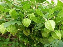 Northeast Fruit Ragazza gialla Semi di frutta