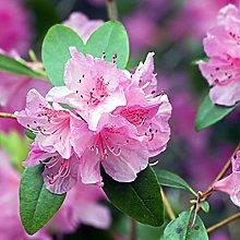 Oce180anYLVUK semi di rododendro rosa,50 Pz/borsa