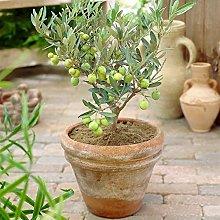 Olea Europaea Olivo - Pianta da Frutto Sempreverde