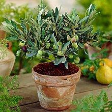 Olea Europaea Olivo - Resistente Pianta da Frutto