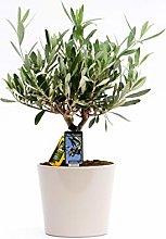 Olea Olive in ceramica Roma - Altezza 40 -
