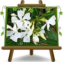 Oleandro Bianco - Nerium Oleander - Piante