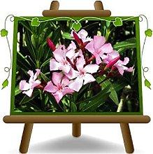 Oleandro Rosa - Nerium Oleander - Piante
