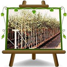Olivo Itrana - Pianta da frutto - albero max 160