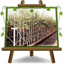 Olivo Leccino - Pianta da frutto - albero max 160