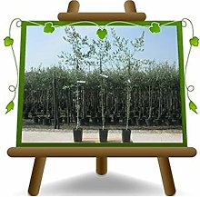 Olivo Pendolino - Pianta da frutto - albero max