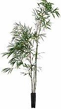 OnlyMoso Pianta di bambù Fargesia - Vaso 7 cm