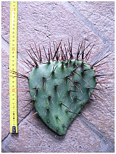 Opuntia paeacantha var. major (n.1 pala) 20-35 cm,