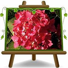 Ortensia Rossa Piante Ornamentali - su vaso da 18
