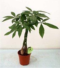 Pachira -vaso 14cm-piante da interno pianta da