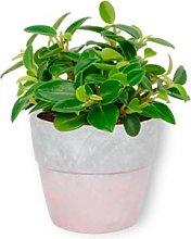 Peperomia Pixie - Piantana nana in vaso di cemento