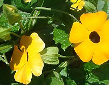 Perenne pianta rampicante Giallo Thunbergia Alata