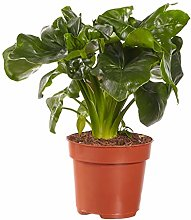Philodendron Atom - Altezza 40 - Diametro vaso 20