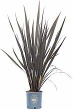 Phormium tenax Atropurpureum, Pianta vera in vaso