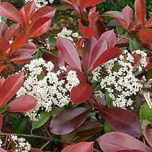 Photinia Red Robin Fotinia pianta da siepe in vaso