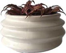 Pianta Cryptantus in Vaso di Ceramica
