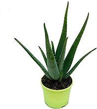 Pianta d'appartamento – Aloe vera –