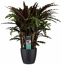 Pianta d'appartamento – Calathea in vaso