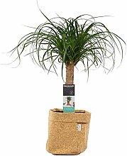 Pianta d'appartamento da Botanicly – Nolina