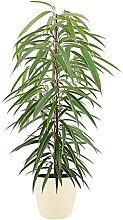 Pianta d'appartamento – Ficus bendijkii in